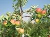 Отклонение плодовых ветвей под первым концевым плодоношением