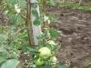 Отломы ветвей под нагрузкой урожая без нормировки и подвязки