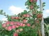 Плодоносящие ветви, требующие прореживания