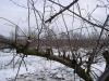 Циклическая обрезка по замене отплодоносивших ветвей алычи
