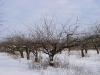 Внешний вид промышленного сада алычи с формировкой луговой кордон