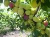 Сильное завязывание плодов алычи крупноплодной сорта Комета