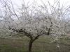 Цветение деревьев алычи крупноплодной с формировкой Луговой кордон