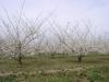 Цветение интенсивного сада алычи крупноплодной
