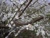 Цветение плодовых звеньев на алыче крупноплодной в интенсивном саду