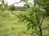 Создание плодовых звеньев при формировании Лугового кордона