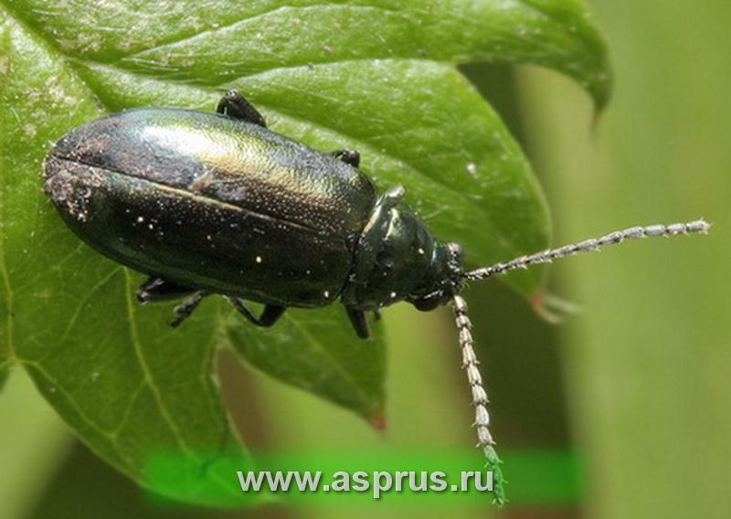 Крестоцветные блошки (Phyllotreta spp.)