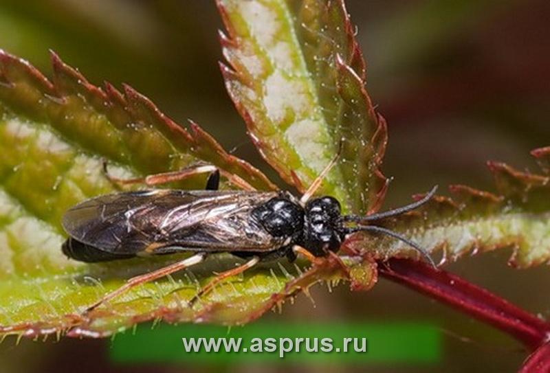 Земляничный чернопятнистый пилильщик (Allantus cinctus)