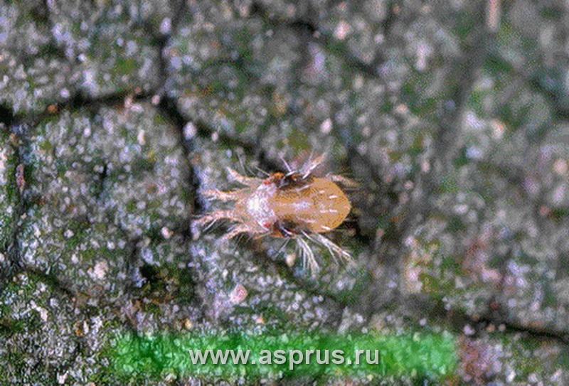 Паутинный клещ (Tetranychus Urticae)