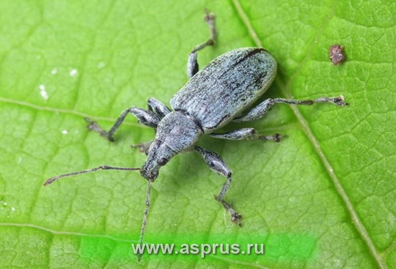 Крапивно-листовой долгоносик (Phyllobius Urticae Deg)