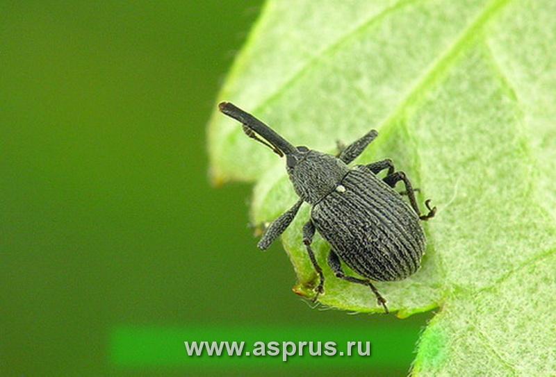 Малиновый долгоносик (Anthonomus Rubi)