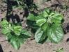 Прищипка верхушечных листьев