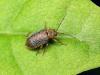 Земляничный листоед (Pyrrhalta tenella)