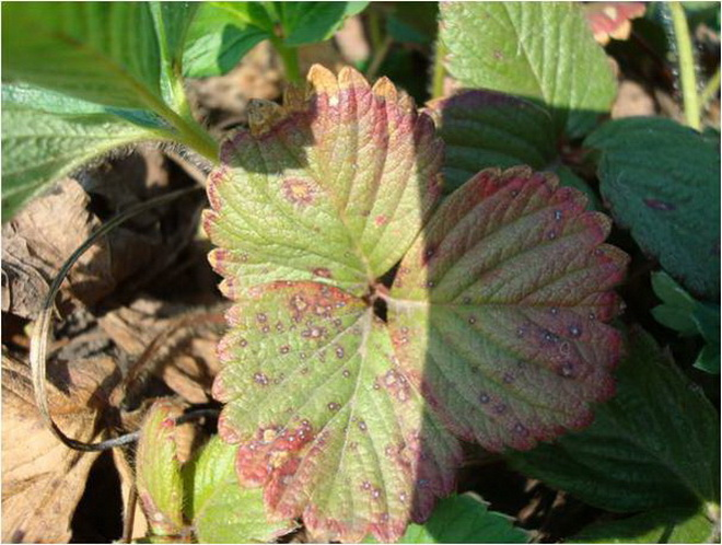 Белая пятнистость листьев