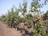 Интенсивные сады на карликовых и суперкарликовых подвоях