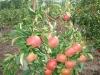 Обильное плодоношение сорта Жигулевское в интенсивном саду