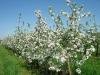 Обильное цветение яблони в саду интенсивного типа