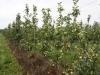 Интенсивный сад на капельном орошении