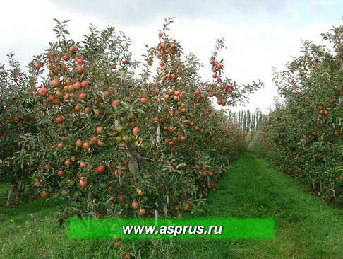 Обильное плодоношение в саду интенсивного типа