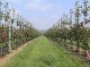 Шпалерно-карликовый интенсивный сад яблони