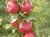 Качество плодов в интенсивном саду, где используют современные приемы фертигации, обрезки и защиты растений