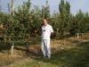 Плодоношение деревьев яблони сорта Айдаред с формировкой модифицированное стройное веретено