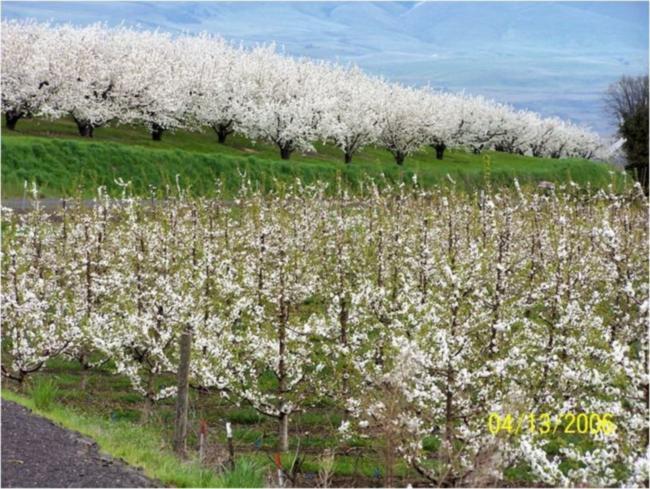 Черешневый карликовый сад