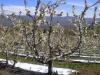 Сады черешни Тимоти Дали