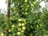 Фото 1. Плодоношение пятилетнего дерева сорта Голден Делишес на