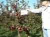 Фото 2. Професор Анджей Садовский демонстрирует сорт Альва на подвое В9