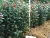 Фото 6. Карликовый вегетативный подвой Р 59 в отводковом маточнике