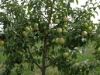Фото 2. Дерево яблони сорта Ветеран с формировкой модифицированная полуплоская