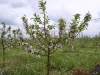 Фото 8. Цветение дерева сорта Гала Маст с формировкой модифицированная полуплоская