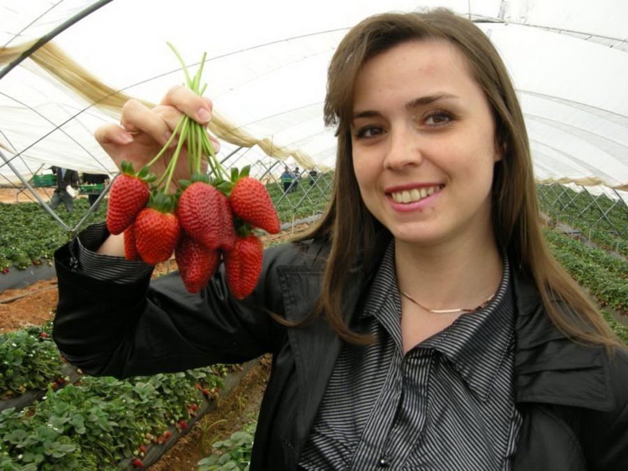Специалист АСП-РУС Жбанова О.В. демонстрирует сорт земляники садовой Сан Андреас