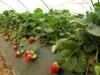 Выращивание земляники садовой в пленочной теплице на пленке, Италия