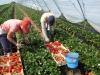 Производство ягод земляники в пленочных теплицах в Испании