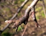 Восстановление плодовых образований в течение нескольких лет после плодоношения