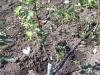 Капельное орошение в интенсивном саду