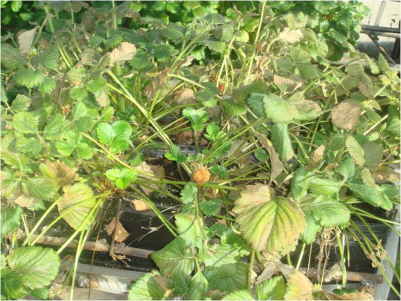 Растения земляники повреждённые земляничным клещом