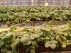 Выращивание земляники в лотках