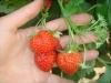 Продуктивность растений земляники выращиваемой в защищённом грунте