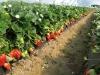 Плантация земляники в период плодоношения