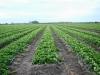 Четырехстрочная система выращивания растений земляники с применением двух линий капельниц