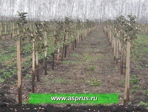 Фото 3 - Интенсивный сад на среднерослом подвое 54-118 со схемой посадки 5х2+2