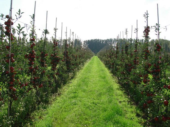 "Сад яблони фирмы \""Каролюс\"""