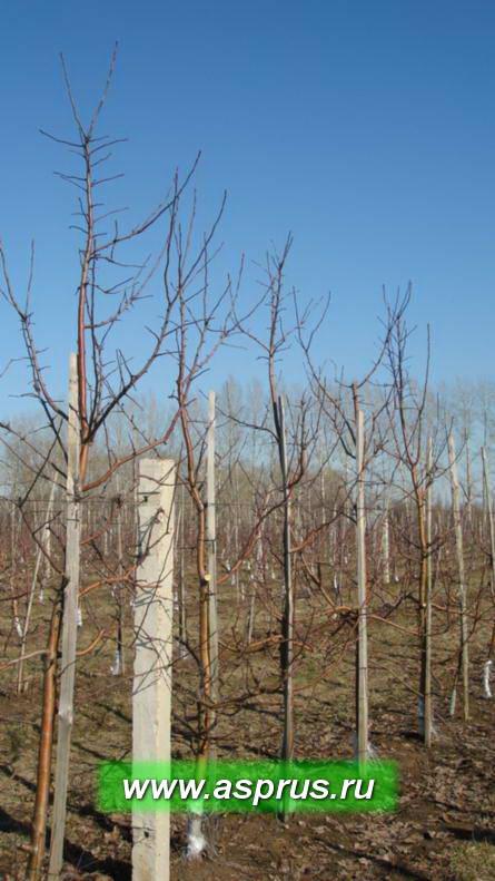 Фото 2 - Вид 4-летних деревьев яблони сорта Спартан