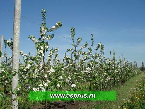 Фото 6 - Интенсивный шпалерно-карликовый сад яблони