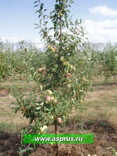 Фото 7 -  сорт яблони Кандиль на подвое Р 60