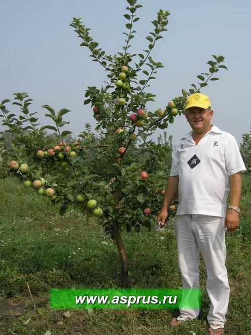 Фото 2 - яблоня сорта Орлик с формировкой новое русское веретено