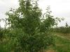 Фото 3 - дерево яблони сорта Гала маст с формировкой новое русское